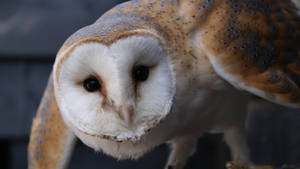 Barn owl by Quixea