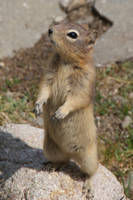 DSC01718ps Ground Squirrel by VIRGOLINEDANCER1