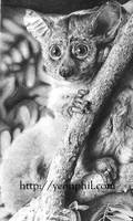 Bush Baby Monke Drawing by sharppower