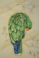 Eclectus Parrot (male) by red2008
