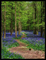 The Bluebell Path by Bogbrush