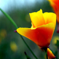 California Poppy by Freckle-fly