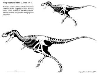 Gorgosaurus libratus by ScottHartman