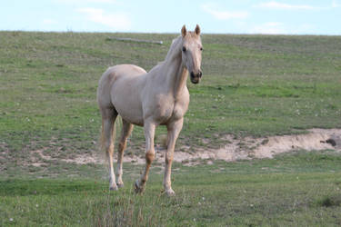 Palomino Stallion 9 by How-You-Remind-Me