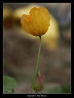 Yellow Poppy by Selus
