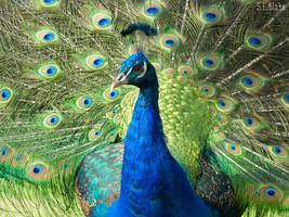 Peacock 2 by kiwipics