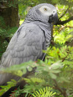 African grey parrot by kiwipics