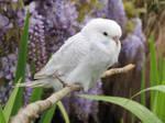 budgie and wisteria by kiwipics