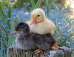 Pekin and Cayuga ducklings by kiwipics