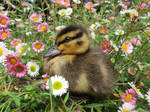 Mallard duckling 2 by kiwipics