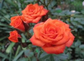 Denver's Dream Miniature Rose by kiwipics