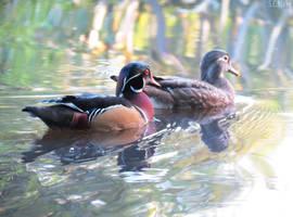 Carolina wood duck pair by kiwipics