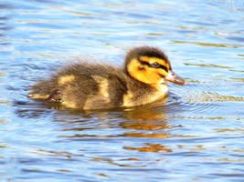 mallard duckling 5 by kiwipics