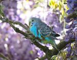 baby blue budgie by kiwipics