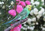 green budgie by kiwipics