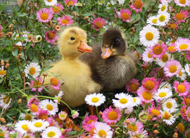 ducklings in daisies by kiwipics