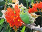baby green budgie by kiwipics