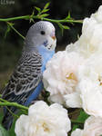 budgie and roses by kiwipics