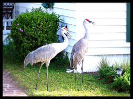 Sand Cranes in Suburbia by Sathiest-Emperor