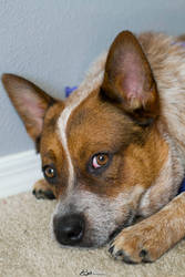 Rory the Cattle Dog 1 by evilhedgehog2011