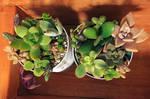 Succulents-20160327 by ptromea