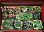 Succulent-20160928 by ptromea