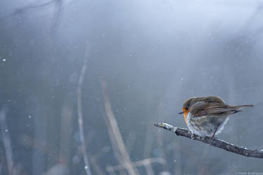 Rougegorge sous la neige by PierreRodriguez