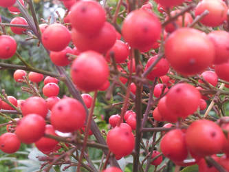 Red Fruits by SashiSama