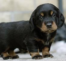 dachshund....pup by prj271194