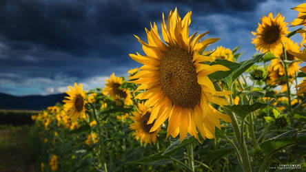 Sunflowers Wallpaper by NYClaudioTesta