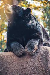 Black Bear's Sun Worship by servilonus