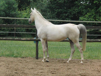 Horse Stock Algeria 7 by Yumani-Chan