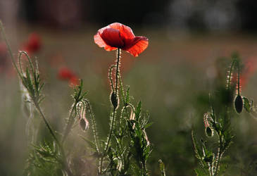 the poppy is also a flower by teetotally