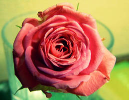 pink rose by 0n3g1rl