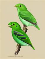 Green Broadbill by Leaubellon