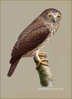 Papuan Hawk-owl by Leaubellon