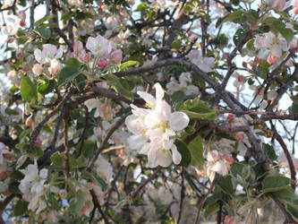 Apple Blossoms by Amandalee1114