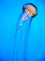 Jellyfish by CrazySilly
