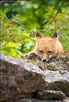 Unimpressed fox by Sarah--Lynne