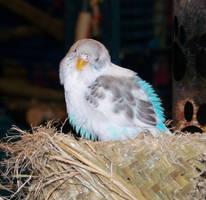 Sleepy Fai by parrots4life
