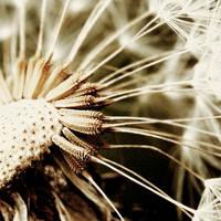 Dandelion by nairafee