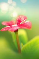 lolliflower II by mohdfikree
