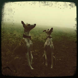 Whippets in the mists by Staged