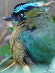 Blue Crowned Motmot by CitizenOfZozo