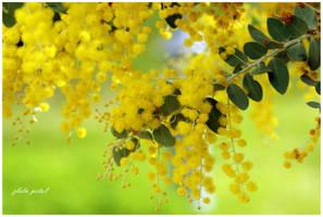 mimoze opet by Zlata-Petal