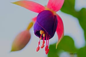 purple beuty by Zlata-Petal