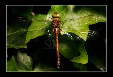 Dragonfly wings by Haati-and-Mousa