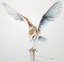 Barn Owl Landing by Atriedes
