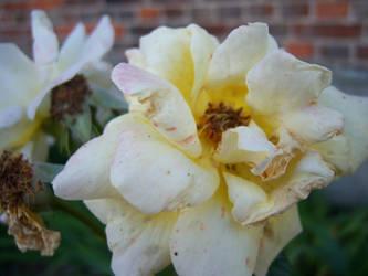 the roses by Bloodangel22