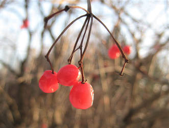 Frosty Berries by spm62